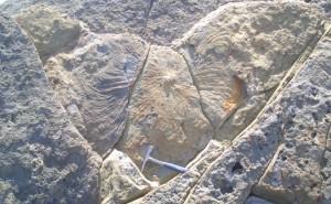 ズーフィコス化石