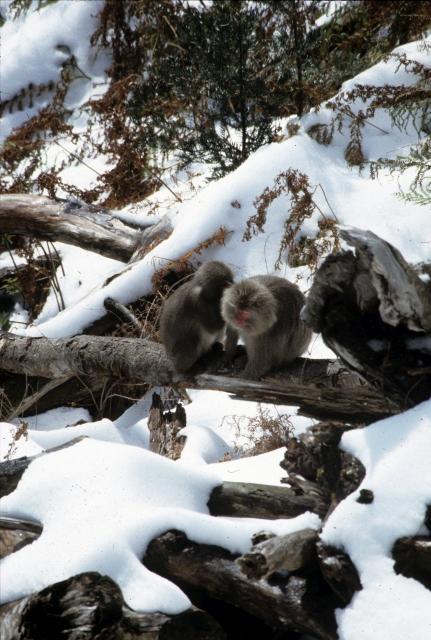 雪の中のヤクシマザル